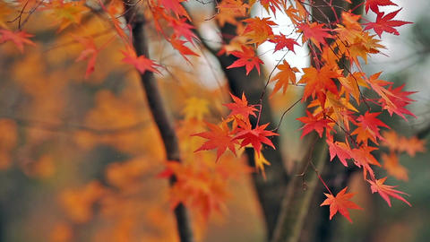 Multi Colored maples in the autumn forest ライブ動画