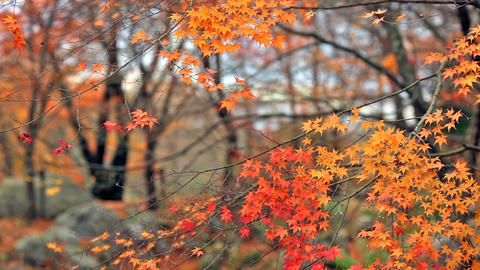 Multi Colored maples in the autumn forest Live Action