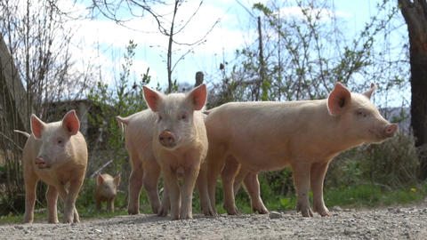 Young pigs on the farm Bild