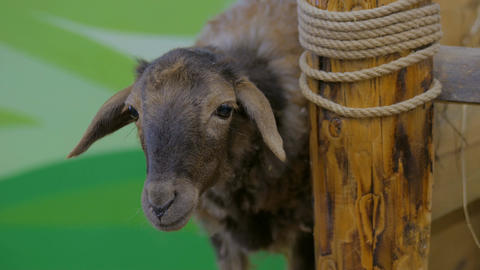 Close up shot of cute brown sheep Image