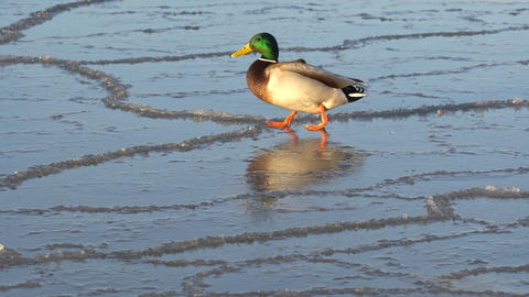 Duck walking on ice Footage