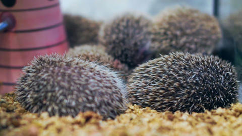 small little hedgehogs sleeping together Footage