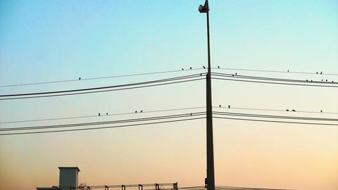 Vertical electric pole and flock of birds sitting on horizontal wires with Footage