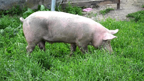 Pink pig go grazing in a field with green grass 1 Live Action