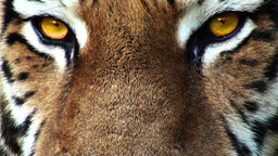 Tiger head with yellow eyes, artificial colored, progressive Footage