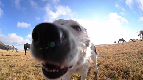 White dog walk and stretches enjoying the morning sun that lights warmly a meado Footage