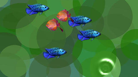 Video animation orange and blue exotic fishes in green aquatic plants in the Animation