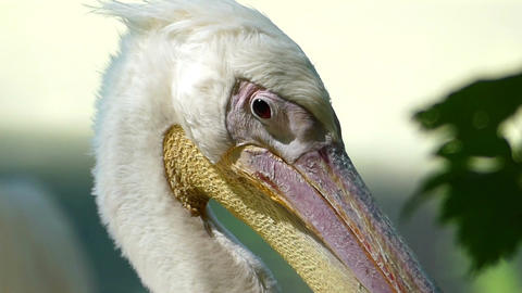 A white pelican turns its head with a long beak on a lake bank Footage