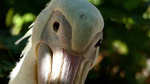 A close-up of a white pelican cleaning itself on a lake bank in summer Live Action