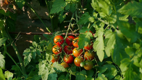 male hand picking ripe red cherry tomatoes fuits from tomato plant growing in Footage