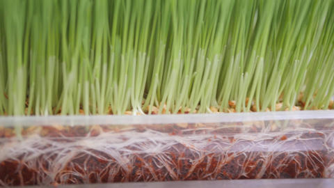 Fresh Organic Wheatgrass at Healthy Food Store. Raw Vegan Healthy Diet Lifestyle Live Action