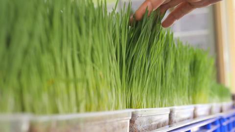 Young Woman Buying Fresh Organic Wheatgrass at Food Store. Raw Vegan Healthy Footage