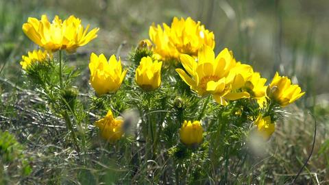 Yellow flowers of Adonis (Adonis vernalis) swaying in the wind Footage