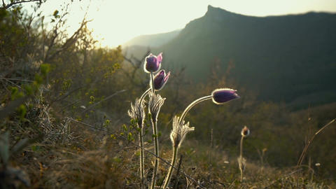 Wild flowers (Pulsatilla patens) against the background of high mountains Footage