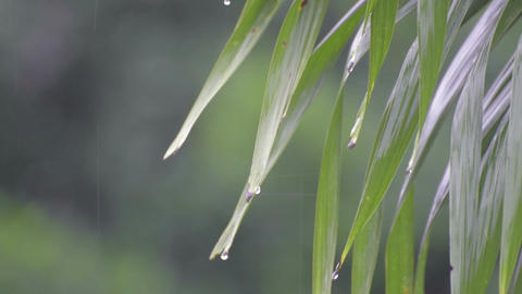 Rain water drops from green leaves Footage