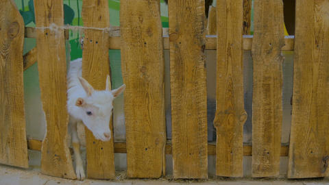 Goats looks around from wooden fence Footage