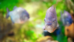 Underwater Closeup Of Piranha Fish Footage