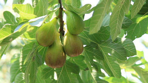 Large fig fruits on a branch among green foliage Footage