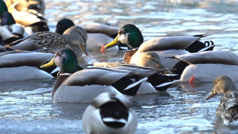 Ducks swim in the water Footage