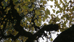 Crown of tree with curved branches Footage