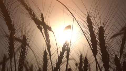 Spikes of golden wheat sway in the wind in the field Footage