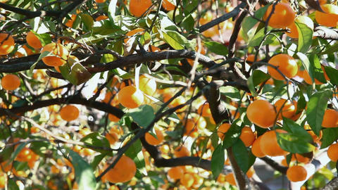 Ripe tangerines in the green foliage Footage