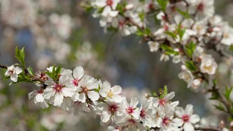 Flowering almond tree against the blue sky Footage