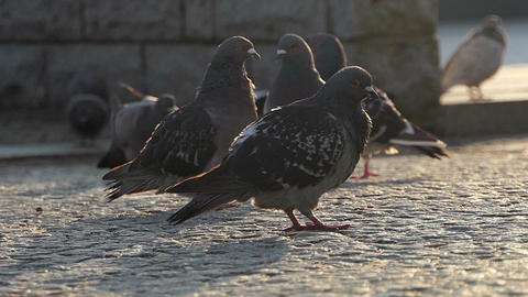 A flock of pigeons walk on a stony sidewalk in a town in slo-mo Footage