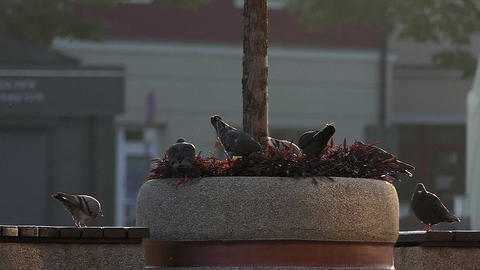 Several doves sit on a round tree bed near a stone fence in slo-mo Footage