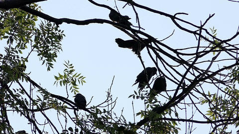 Five rooks are sleeping on a bald tree in the twilights in slo-mo Footage