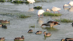 Close up of birds feeding in a newly formed swamp by rains Footage