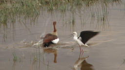 A black winged stilt is able to chase away a goose from her space Footage