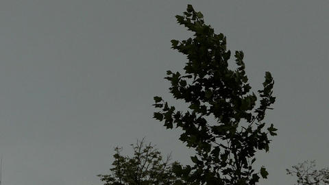 A top of a green maple tree sways under the bursts of wind in slo-mo Footage