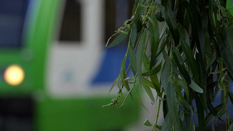 Several twigs of a weeping willow and a green bus behind it in summer Footage