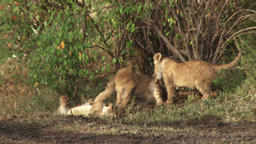 Lion cubs playing together in the bush Footage
