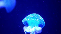 Blue Moon Jellyfish (Aurelia Aurita or Saucer Jelly) Swimming In Ocean Footage