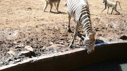 A thirsty zebra can not reach water level in a bush lodge Footage