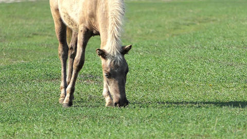 a Light Brown Foal Grazes Green Grass on a Lawn on a Sunny Day in Slo-Mo Footage