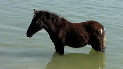 Strong Young Brown Horse Stands in Lake Waters in Summer in Slow Motion Live Action