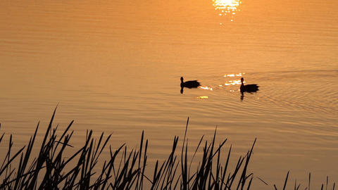 Two Brown Ducks Swim in a Beautiful Lake at Sunset in Slow Motion Footage
