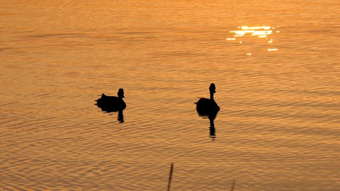 Two Brown Ducks Swim in a Beautiful Lake at a Splendid Sunset in Slo-Mo Live Action