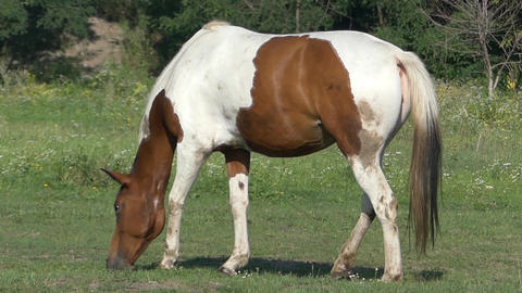 Brown And White Horse is Grazing Grass on a Lawn on a Sunny Day in Slow Motion Live Action