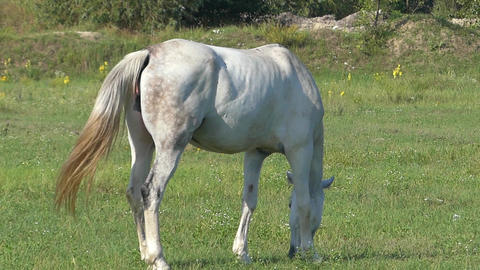a White Horse is Grazing Grass on a Green Lawn on a Sunny Day in Slow Motion Live Action
