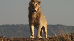The king of the jungle watches his territory from a high point Footage