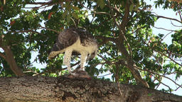 Martial eagle removing feathers from a bird he just hunted Footage