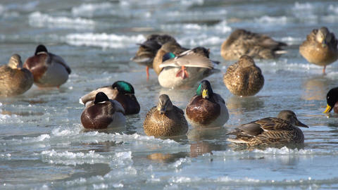 Ducks romp in the water and on the ice Footage