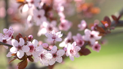 Sprigs with flowers pink cherry. Blooming sakura. Shallow depth of field Footage