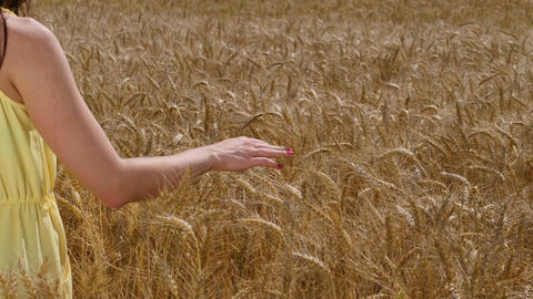 Woman touches ripe wheat ears on a field and picks one of them. Sunny day Footage