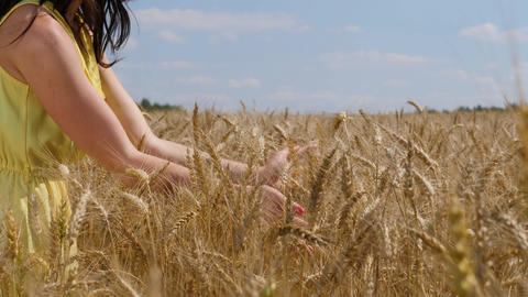 Woman's hands caressing ripe wheat ears. Agricultural field at sunny day Footage