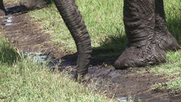 Trunk of an elephant picking up mud Footage